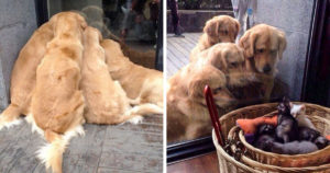 Cuki golden retrieverek