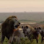 Csapdába esett oroszlán megmentésére sietett barát