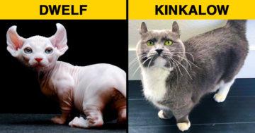 Különleges és ritka macskafajták