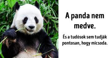 Panda medve