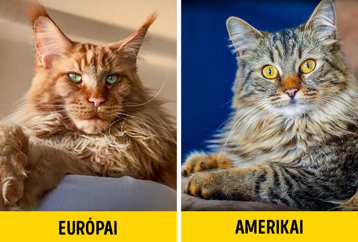 Europai vs amerikai maine coon