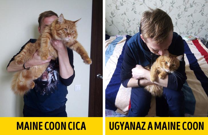 Maine Coon cicak nem olyan nagyok