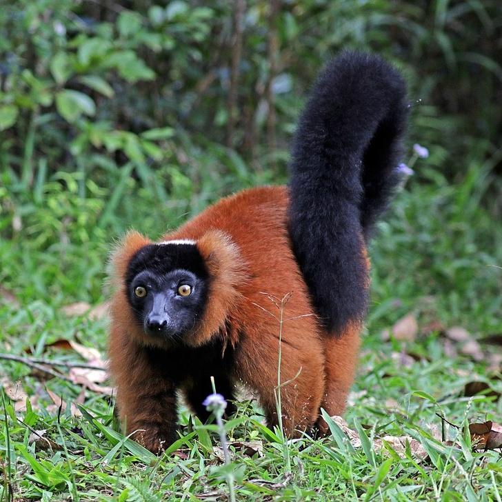 12531665 900px Red ruffed lemur Varecia rubra 1573116366 728 62df9a8231 1574493589
