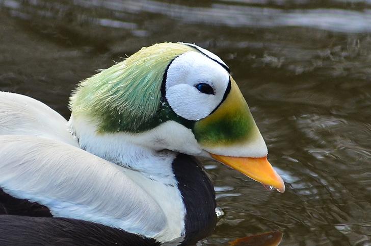 12531815 1200px Somateria fischeri Spectacled Eider Plueschkopfente Weltvogelpark Walsrode 2012 07 1573196614 728 09da3307c7 1574493589