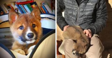 Kertben talált ausztrál dingó