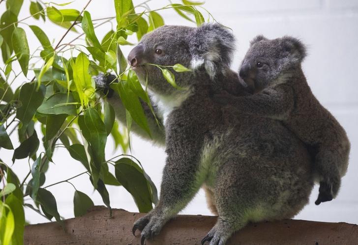 Koala és koalabébi