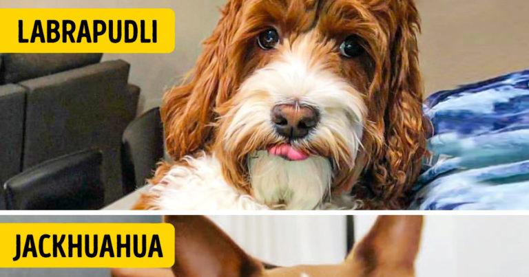 Kitenyésztett keverék kutyák