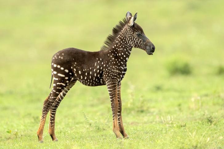14708615 newborn zebra rare polka dots kenya 5 5d81d336e4da6 700 1578853031 728 5f783a2e0f 1579006462