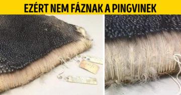 Pingvinek nem fáznak