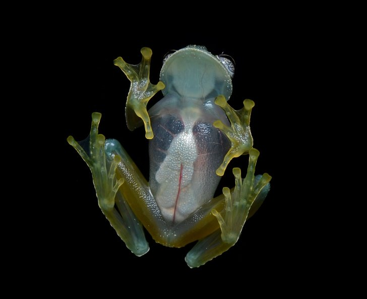 14457060 Flickr ggallice Glass frog 4 cropped 1581063530 728 62396d8769 1581648217