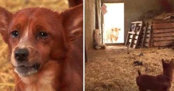 Kutya és tehén szomorú története