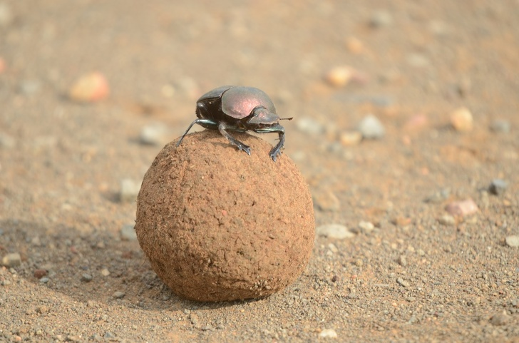15160010 dung beetle 2774229 1280 1577442000 728 0ba63c52b5 1584975442
