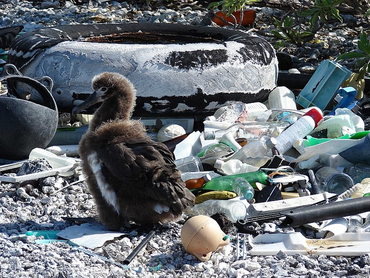 15259118 800px Starr 080603 5639 Boerhavia repens habitat with Laysan albatross chick and marine debris Spit Island Midway Atoll 24284315534 1584751743 728 9580171150 1585577565