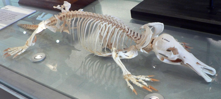 Kacsacsőrű emlős csontváz