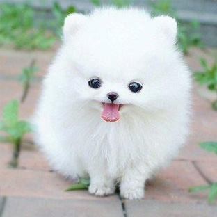 Pomeraniai