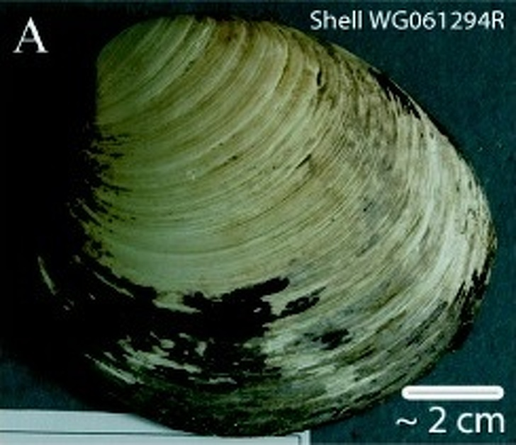 5401960 Ming clam shell WG061294R 1586385725 728 4ee244cc39 1589484881