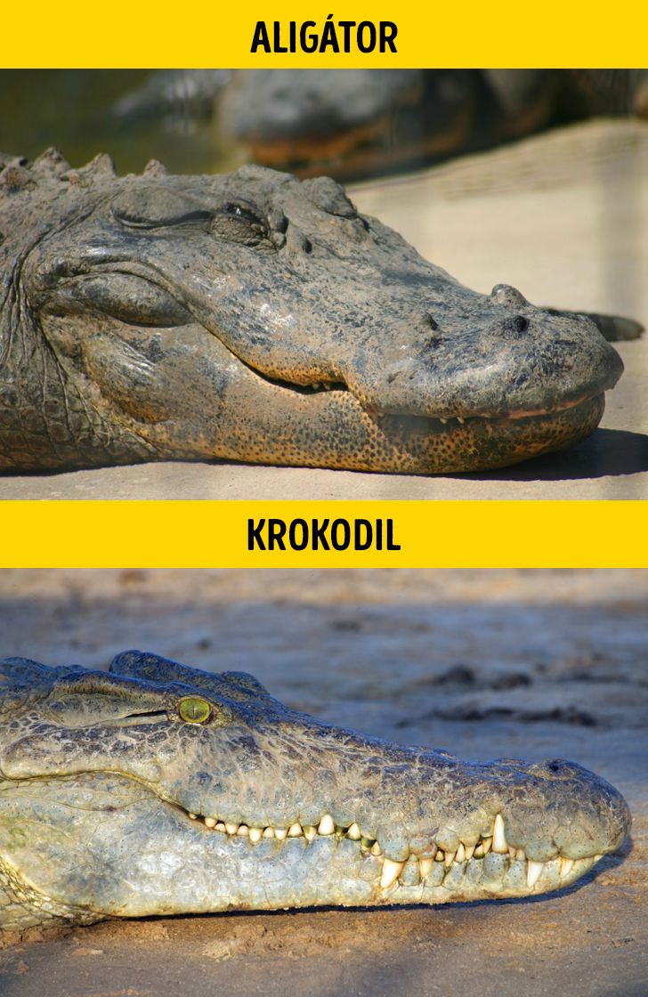 Aligator es krokodil