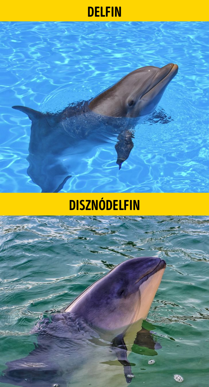 Delfin es disznodelfin