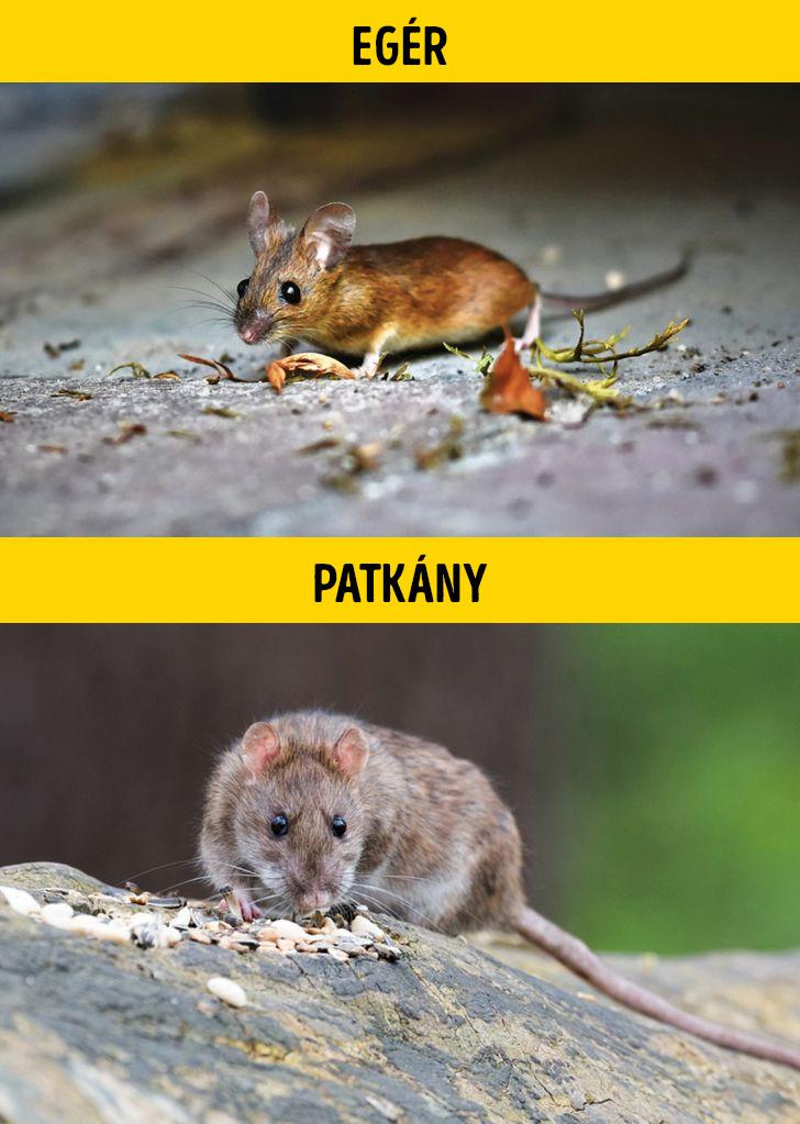 Eger vagy patkany
