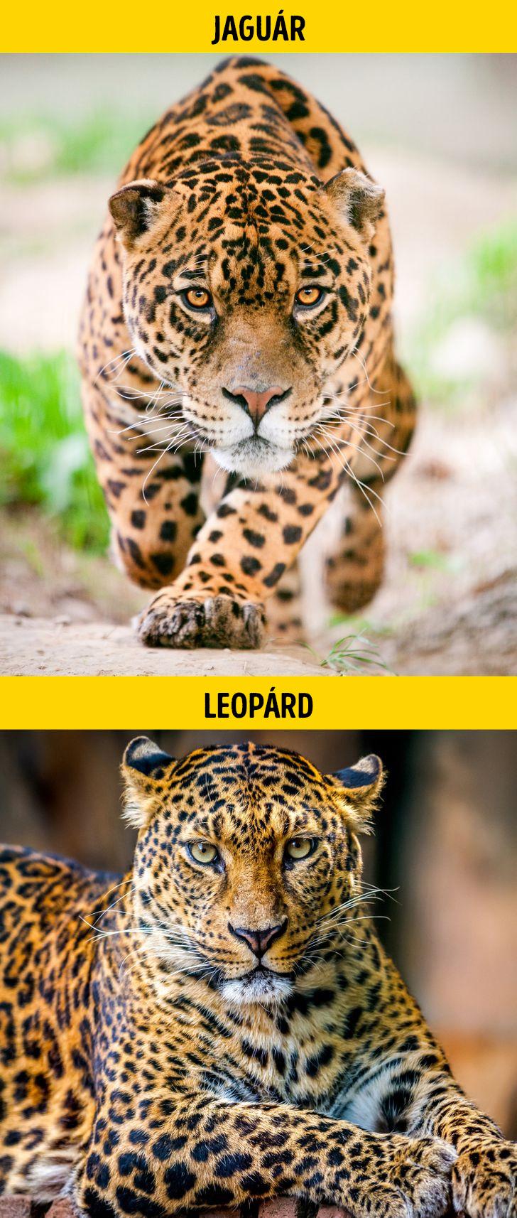 Jaguar es leopard