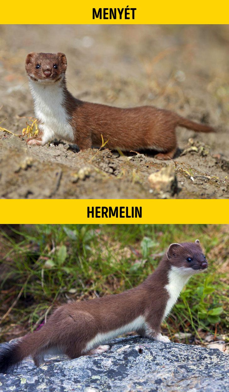 Menyet vagy hermelin