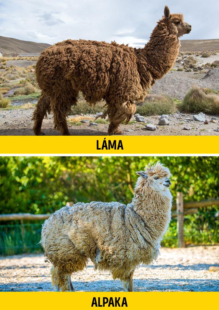 Lama vagy alpaka