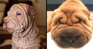 Ráncos shar pei kutyák