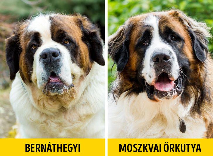 Bernathegyi es moszkvai orkutya 1