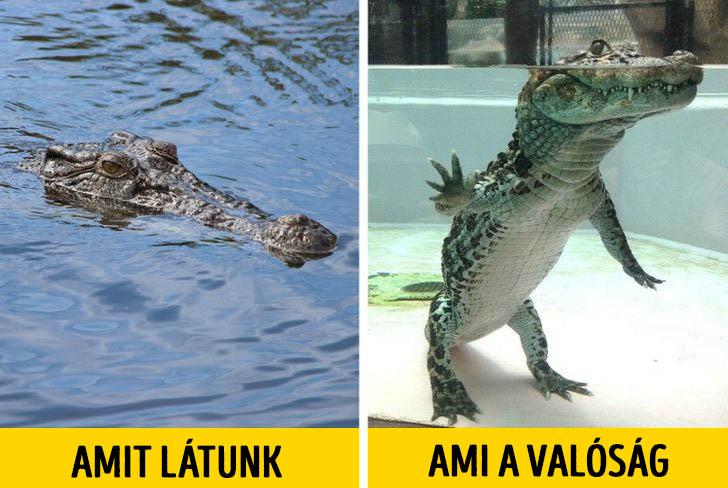 Krokodil a vizben