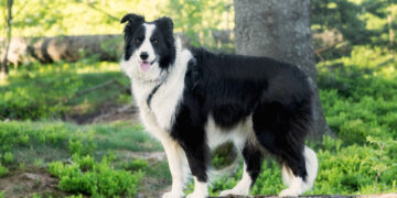 border collie kiemelt