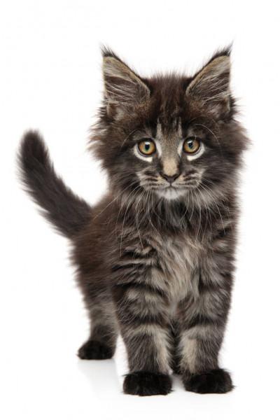 depositphotos 220737998 stock photo close portrait maine coon kitten