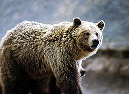Grizzly Baer im Yellowstone Nationalpark