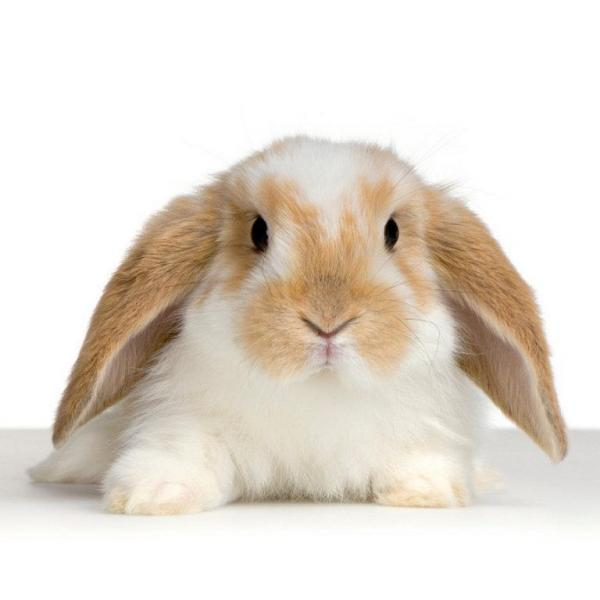 caring for a french lop rabbit 223 600