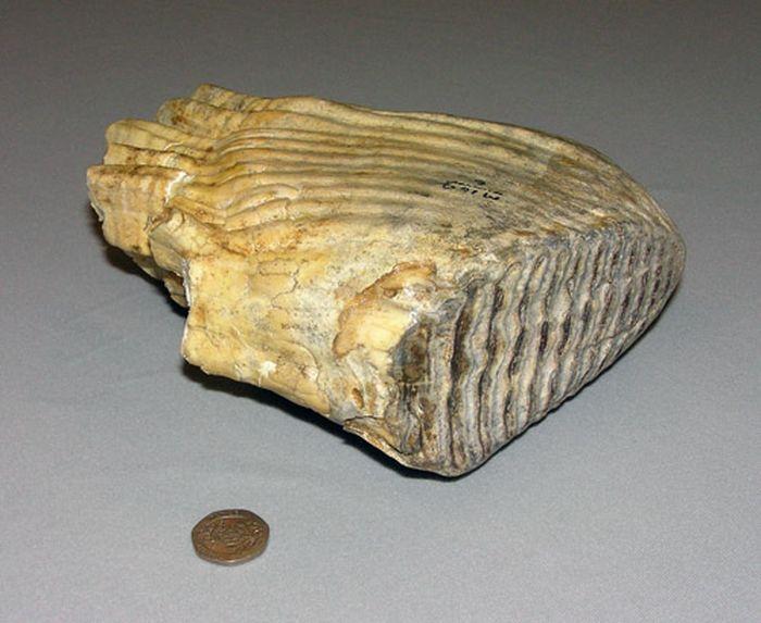 mamut orlofiog