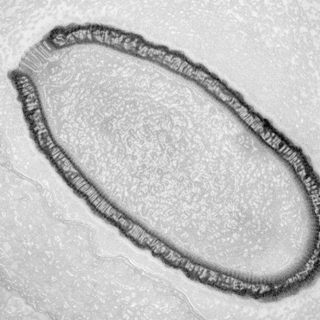 oriasvirus