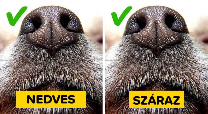 Kutya orr nedves vagy szaraz